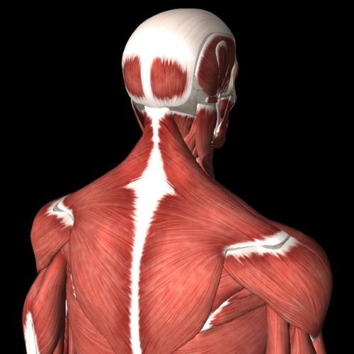 Мышцы шеи. Анатомия, таблица, функции, как расслабить спазм, воспаление, растяжение