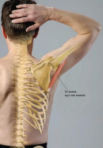 Большая круглая мышца плеча. Функции, анатомия, как лечить, если болит