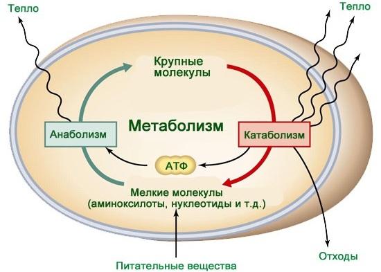 Метаболизм в организме человека. Что это такое простыми словами, как его улучшить