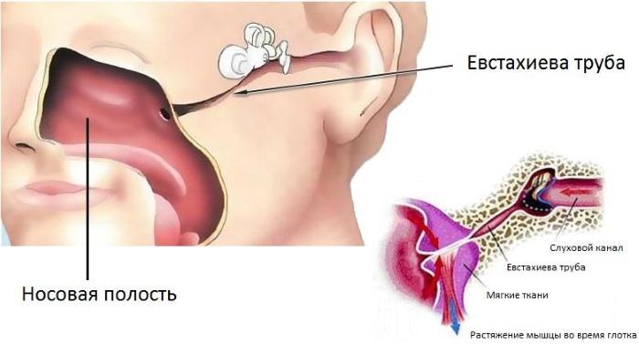 Евстахиева труба. Где находится, что соединяет, относится к какому уху, функции, болезни