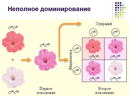 Взаимодействие аллельных генов человека. Что это такое, причины, примеры