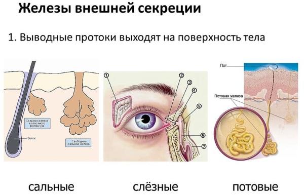 Железы внешней секреции. Что это такое, определение, чем отличаются от внутренней секреции, гормоны