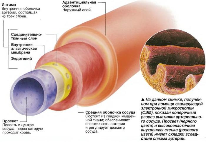 Брюшная аорта. Где расположена, размеры, норма по УЗИ, топография, ветви