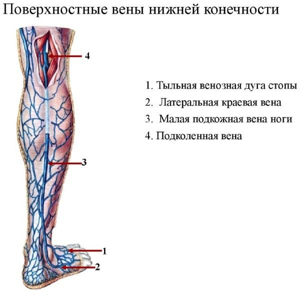 Поверхностные вены верхней/нижней конечности. Схема, анатомия, расположение