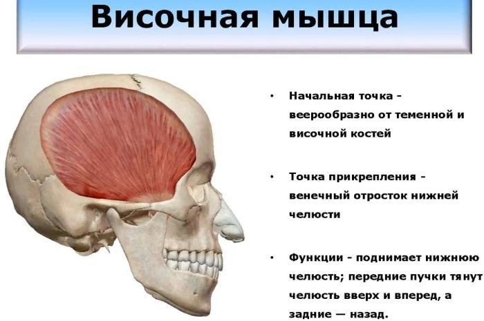 Жевательные мышцы лица. Анатомия, чем иннервируются, функции, фото