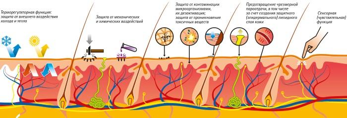 Кожа и ее производные. Гистология, анатомия