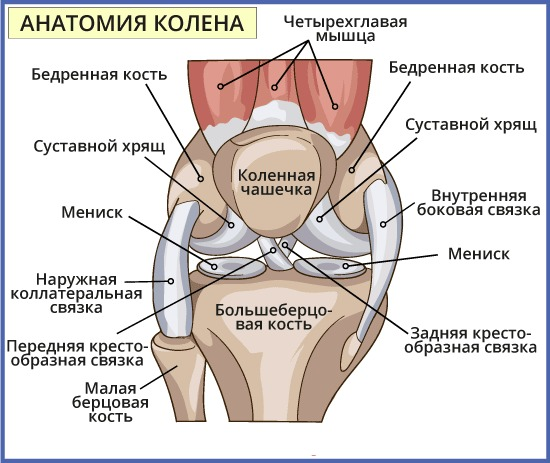 Передняя крестообразная связка. Анатомия, разрыв, повреждение, изменения, лечение