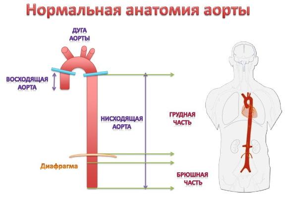 Аорта у человека. Где находится, начинается, отходит, анатомия