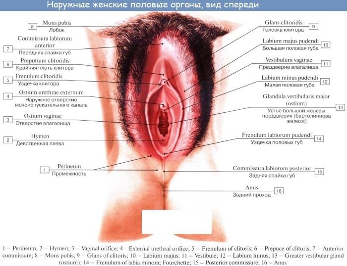 Как устроен женский организм. Анатомия, фото