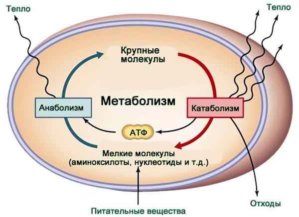 Катаболизм это что в биологии, этапы, примеры, таблица
