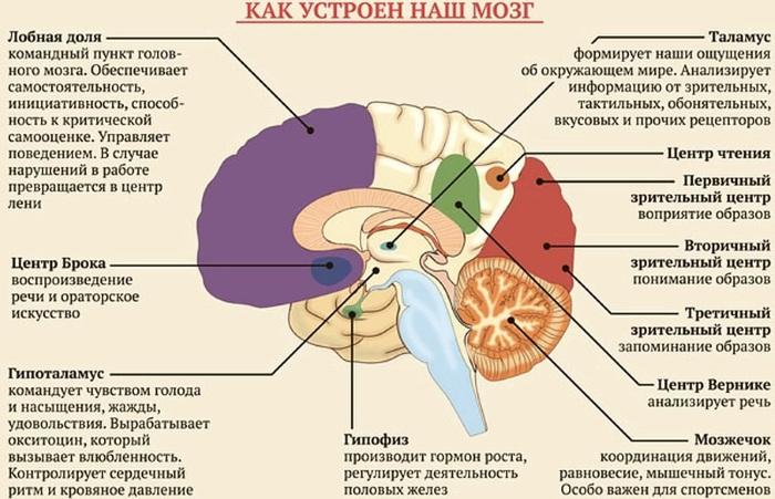 Кора больших полушарий. Гистология головного мозга, функции, строение