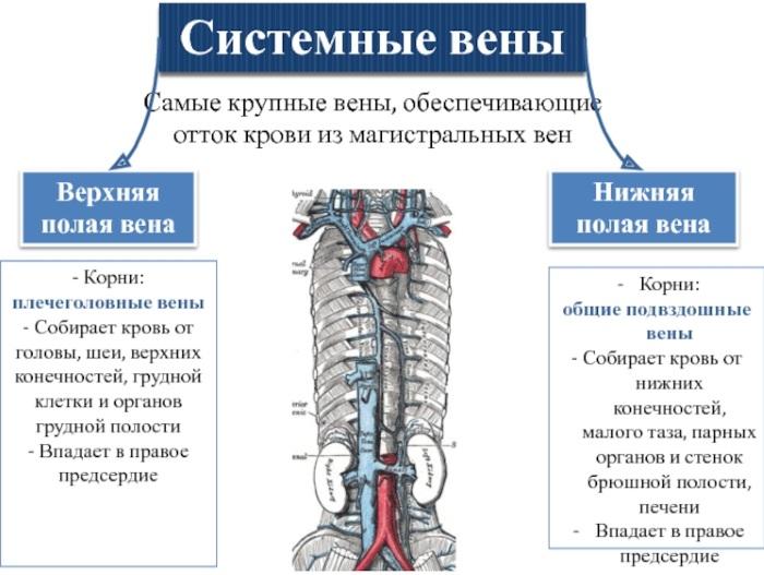Нижняя полая вена. Анатомия, где находится, функции, заболевания