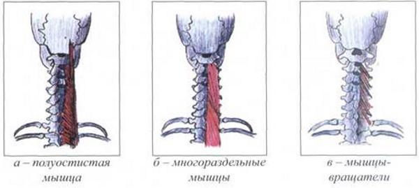 Поперечно-остистая мышца спины. Анатомия, функции, иннервация, массаж