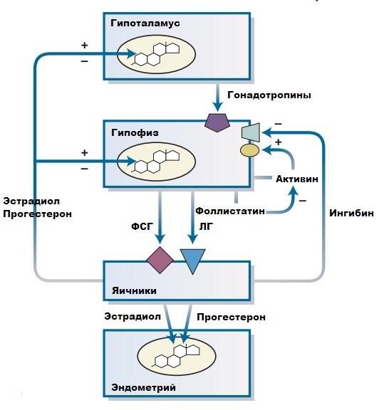 Гонадотропные гормоны гипофиза у женщин, мужчин. Это какие