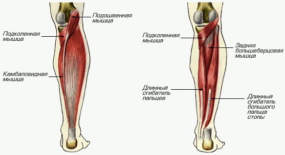 Самая большая мышца в теле человека это какая? Фото, название